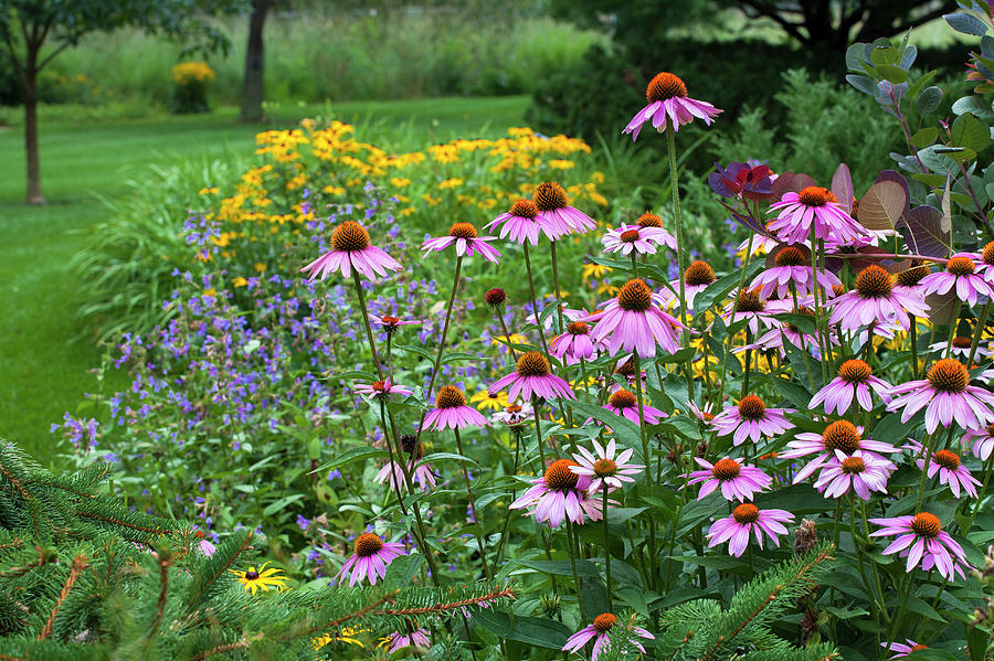 Purple Coneflowers in Summer Border by Saxon Holt