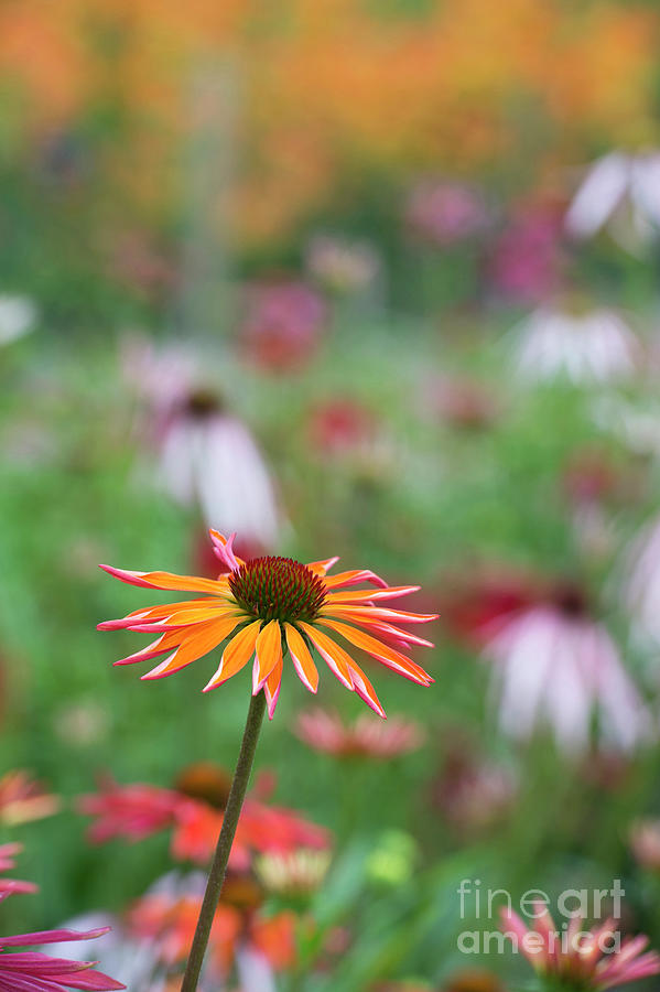 Echinaceas Photograph -  Echinacea Orange Passion Flowering by Tim Gainey