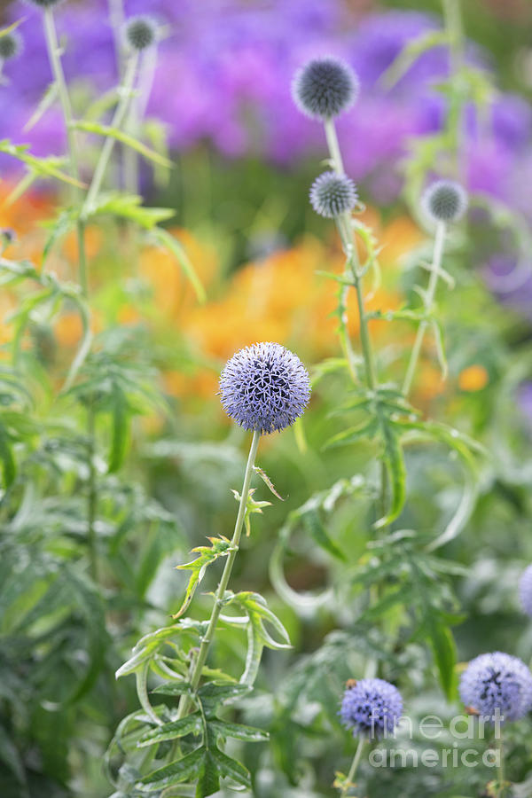 Echinops Ritro Veitchs Blue in Summer by Tim Gainey