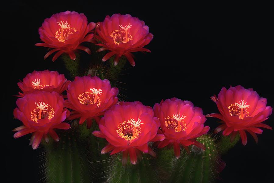 Echinopsis Hot Pink by Saija Lehtonen
