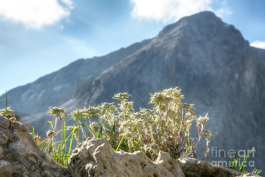 edelweiss in the Karwendel by Fabian Roessler