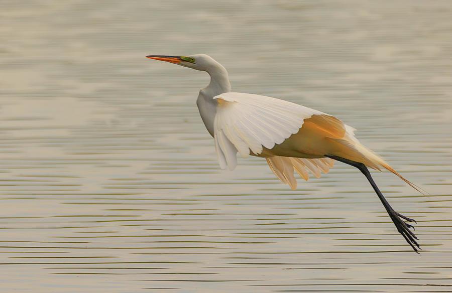 Egret 3 by Richard Kopchock