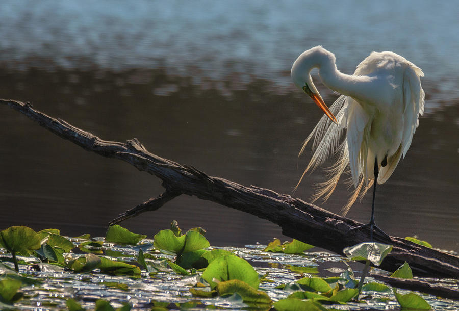 Egret 5 by Richard Kopchock