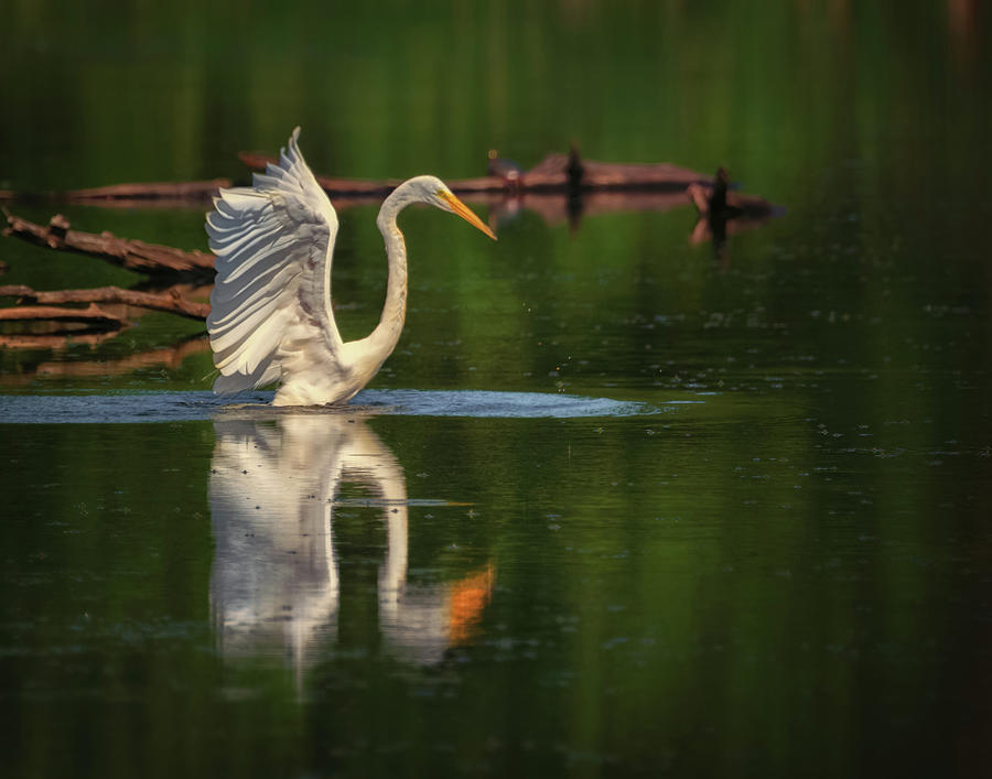 Egret 7 by Richard Kopchock