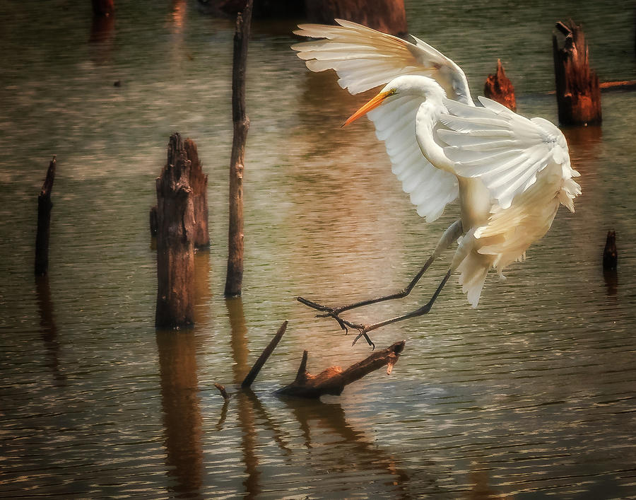 Egret 8 by Richard Kopchock