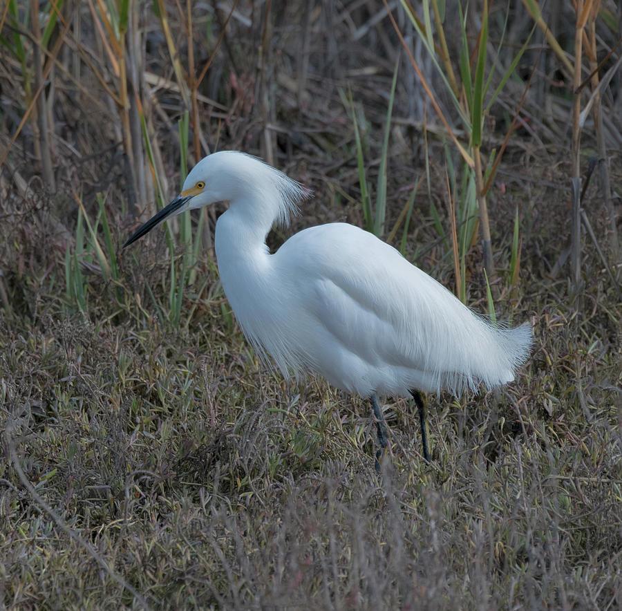 Egret In Marsh Photograph