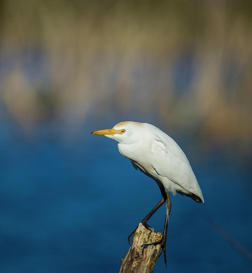 Egret on a Stick by Kevin Banker
