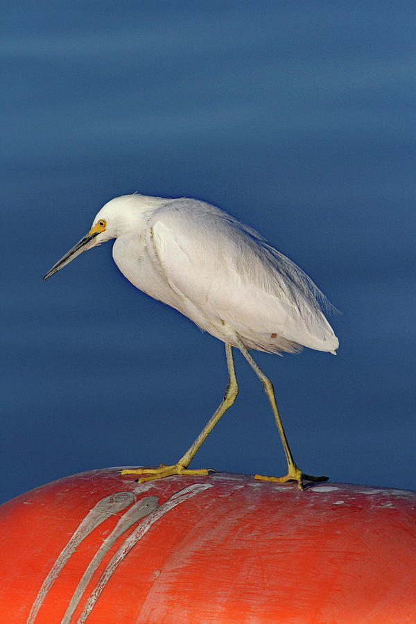 Egret On The Buoy  by Tom Janca