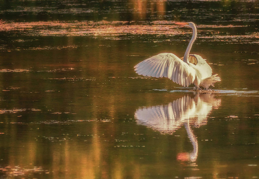 Egret Reflections 2 by Richard Kopchock