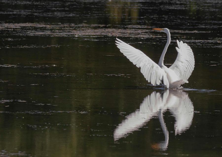 Egret Reflections by Richard Kopchock