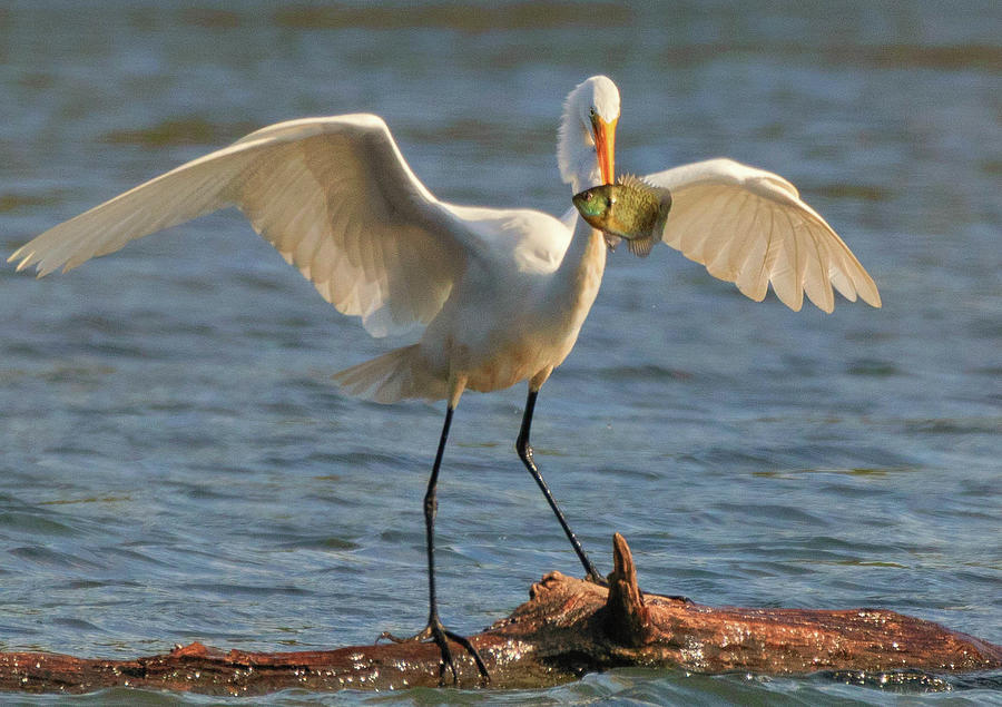 Egret  by Richard Kopchock