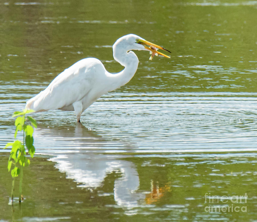 Egret With Catch by Michael D Miller