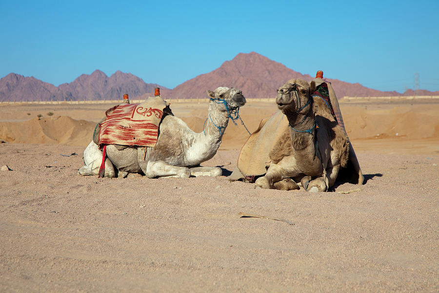 Egyptian Desert Camels Photograph by Nicholas Free