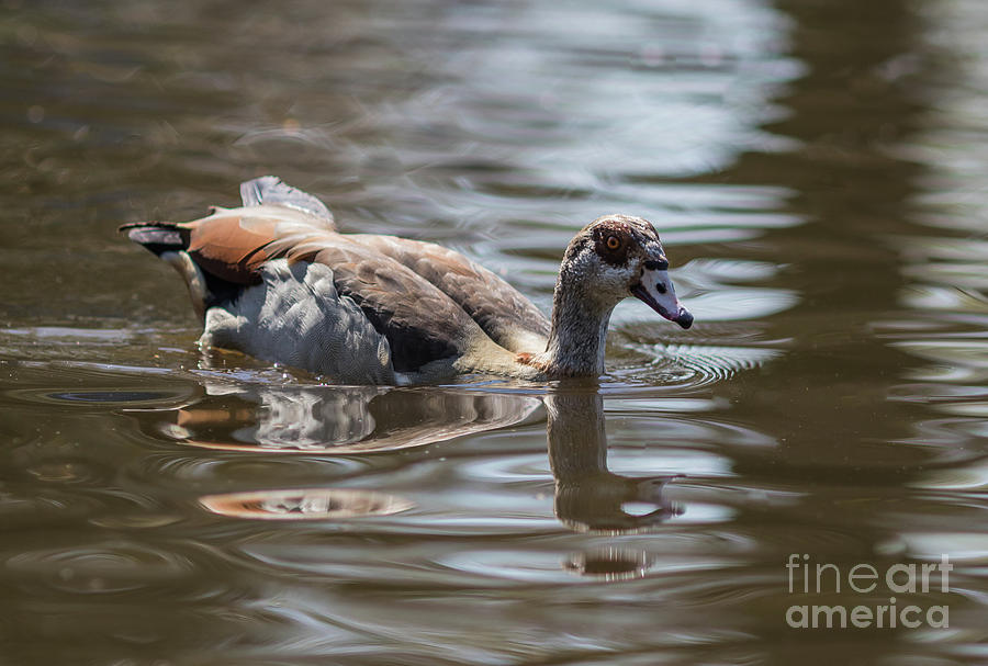 Egyptian Goose Swimming by Eva Lechner