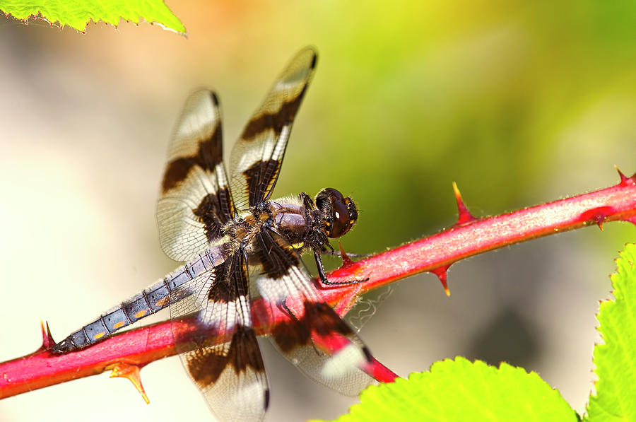 Eight-spotted Skimmer on Blackberry Cane by Sharon Talson