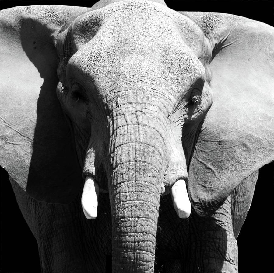 Elder Elephant by Alina Avanesian