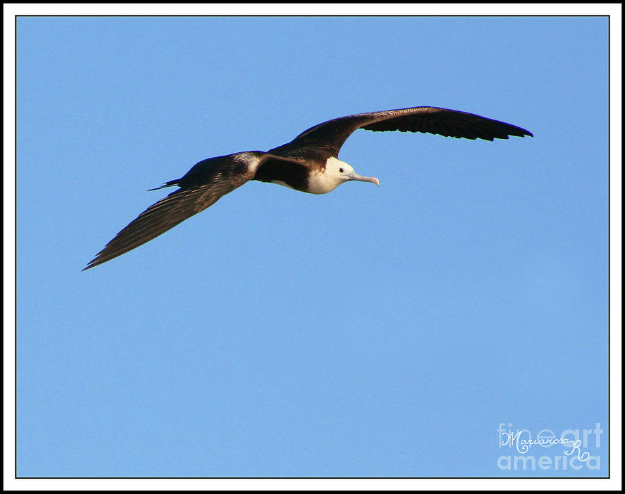 Elegant Frigate Bird by Mariarosa Rockefeller