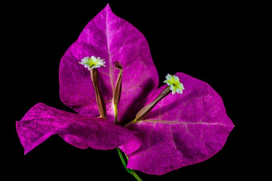 Elegant Purple Bougainvillea by Art Shack