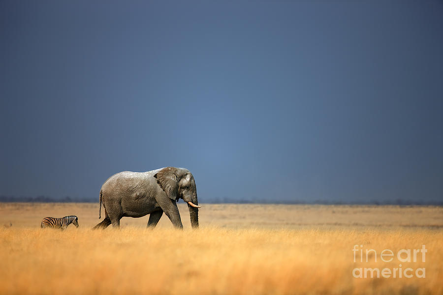 Big Photograph - Elephant Bull And Zebra Walking In Open by Johan Swanepoel