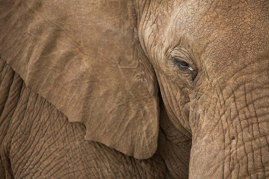 Elephant Bull Close-up Photograph by Sebastian Kennerknecht