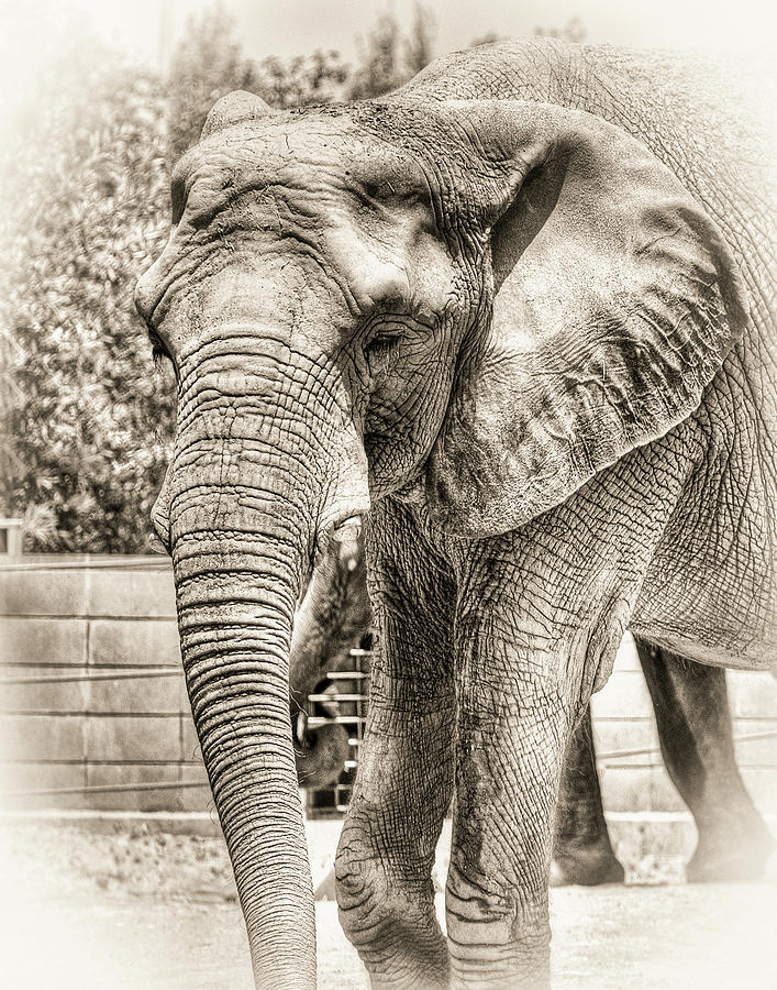 Elephant by Christopher Cutter