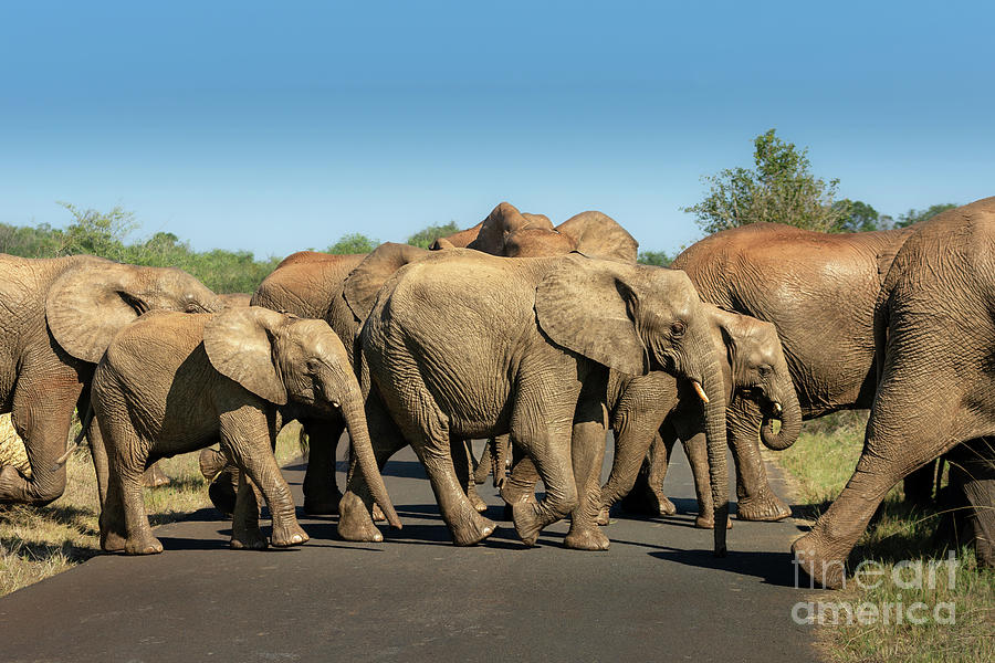 Elephant Crossing by Jamie Pham