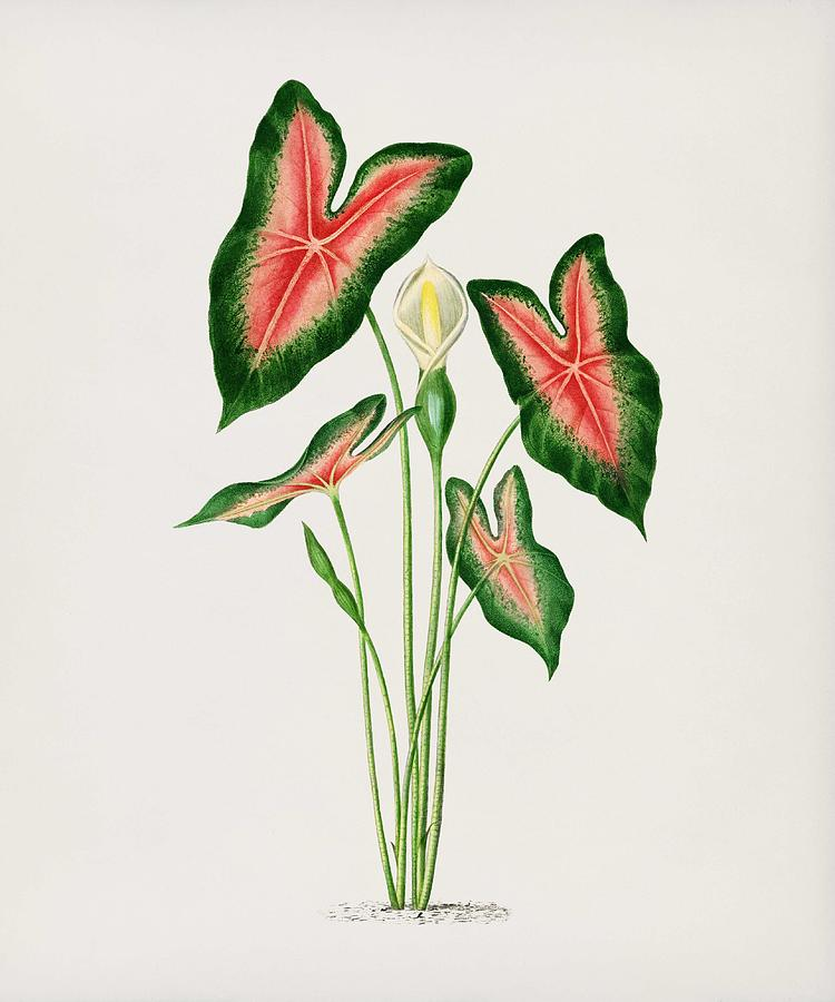 Elephant Ear Caladium Bicolor Illustrated By Charles Dessalines D