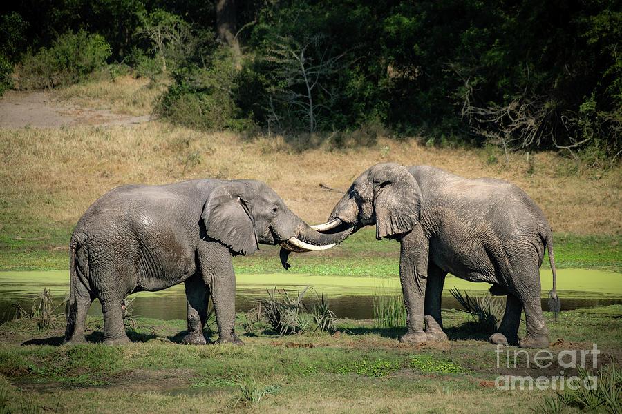 Elephant Greeting Photograph