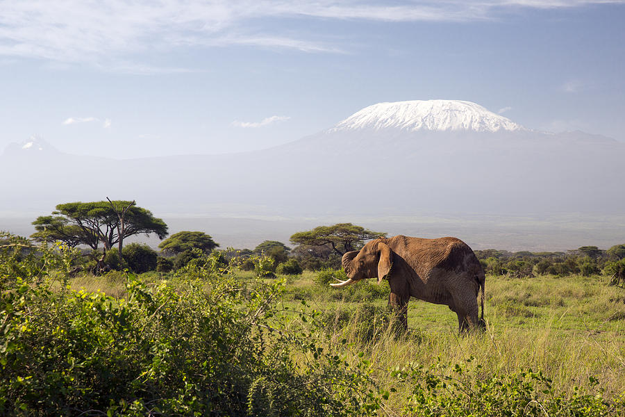 Elephant In Front Of Mount Kilimanjaro Photograph by 1001slide
