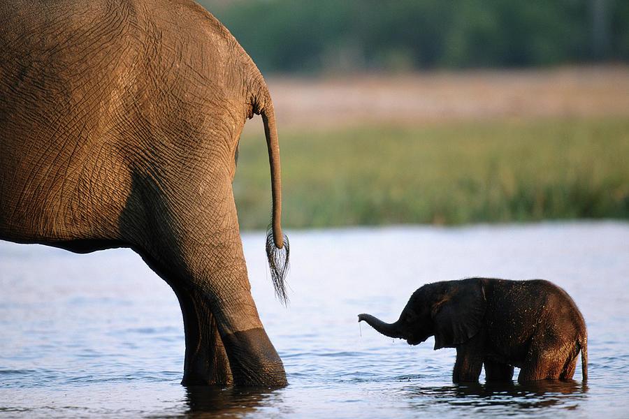 Elephant Loxodanta Africana Calf Photograph by Paul Souders