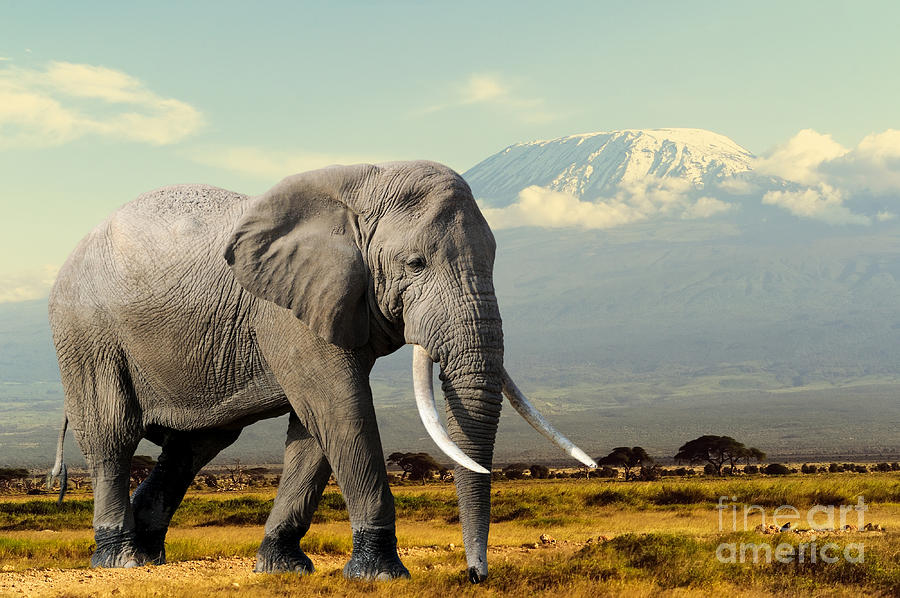 Big Photograph - Elephant On Kilimajaro Mount Background by Volodymyr Burdiak