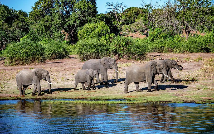 Elephant Walk by Marcy Wielfaert