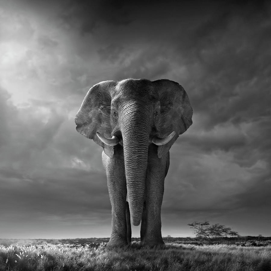 Tranquility Photograph - Elephant Walking In Grassy Field by Chris Clor