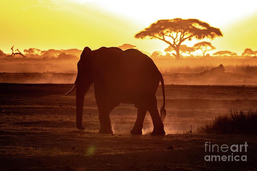 Elephant walking through Amboseli at sunset by Jane Rix