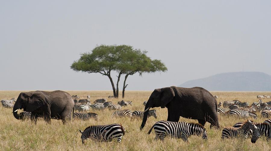 Elephants And Zebra In The Serengeti Photograph by Wldavies
