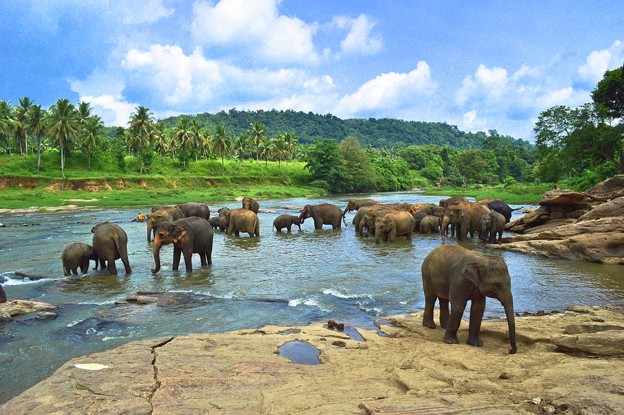 Elephants Bathing In River Photograph by Imagebook/theekshana Kumara