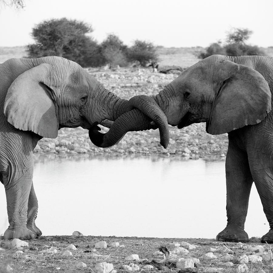Elephants Curling Trunk Photograph by Harrykolenbrander