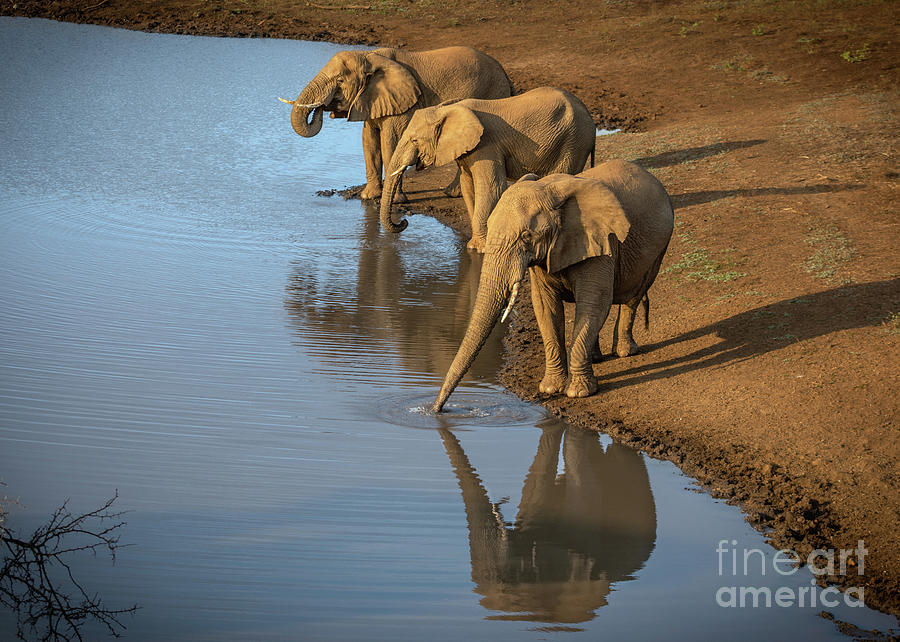Elephants Drinking From A Water Hole. Photograph
