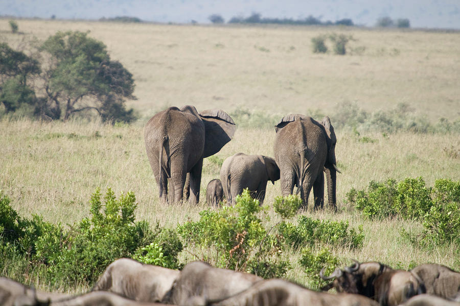 Elephants In The Masai Mara National Photograph by Gary J Stevenson - Garyjsphotography