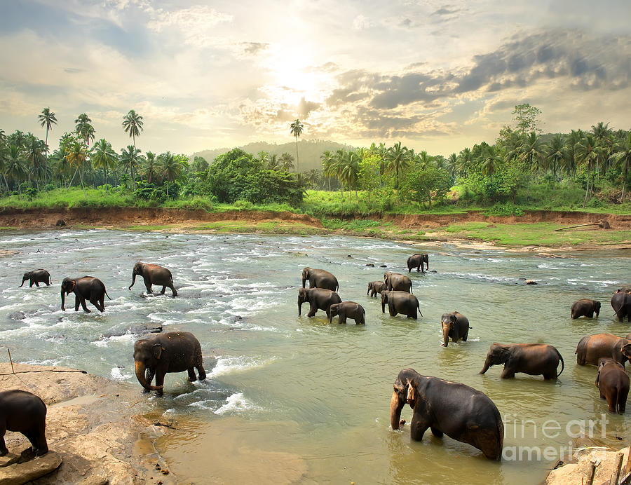 Big Photograph - Elephants In Water by Givaga