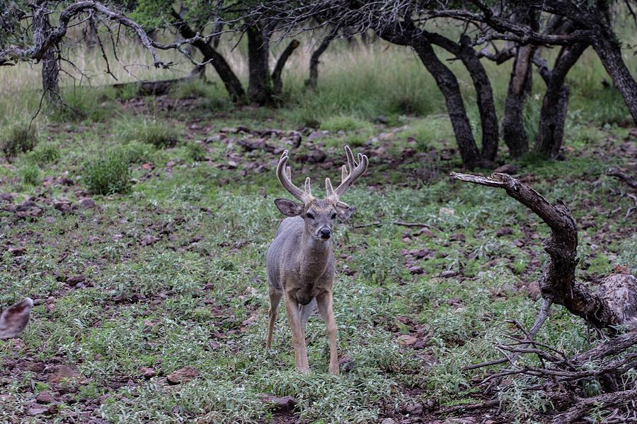 Eleven Point Whitetail Photograph