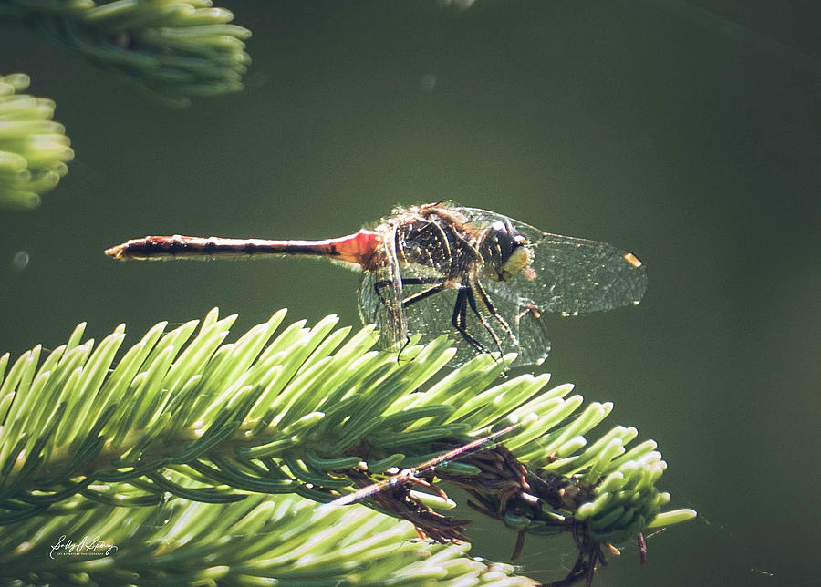 Elfin Whiteface Skimmer by Sally Sperry