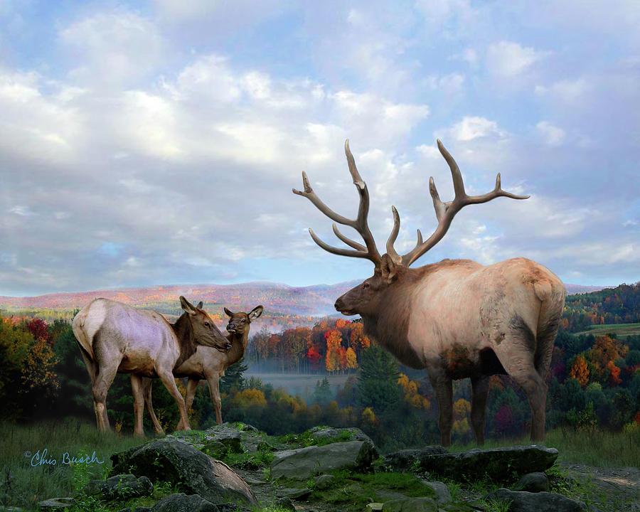 Elk at Dent's Run by Chris Busch