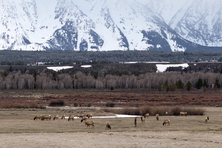 Elk at Tetons by Ronnie and Frances Howard