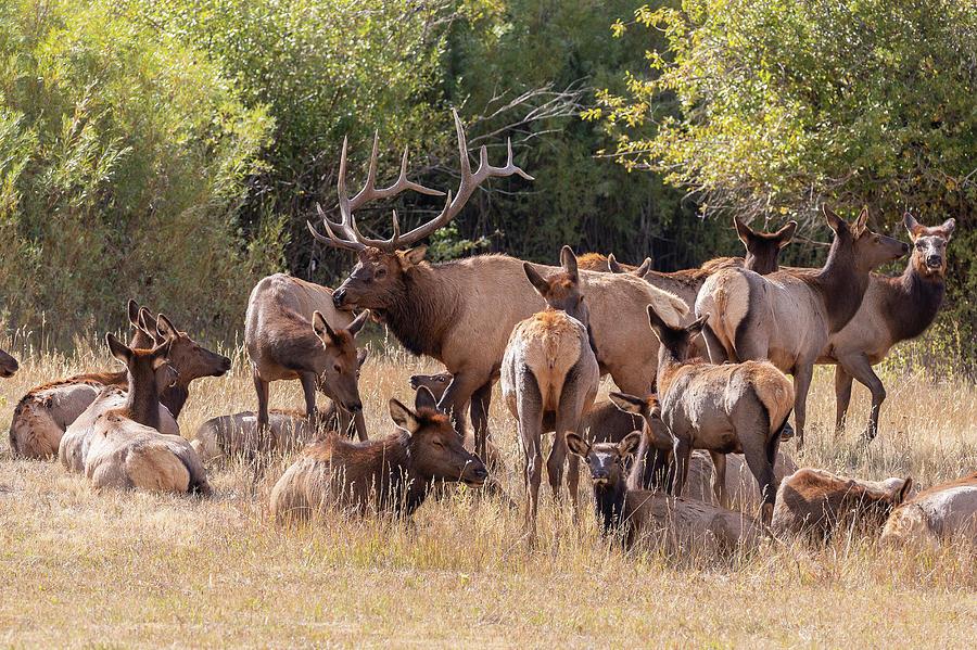 Elk Bull Gathers His Harem Photograph