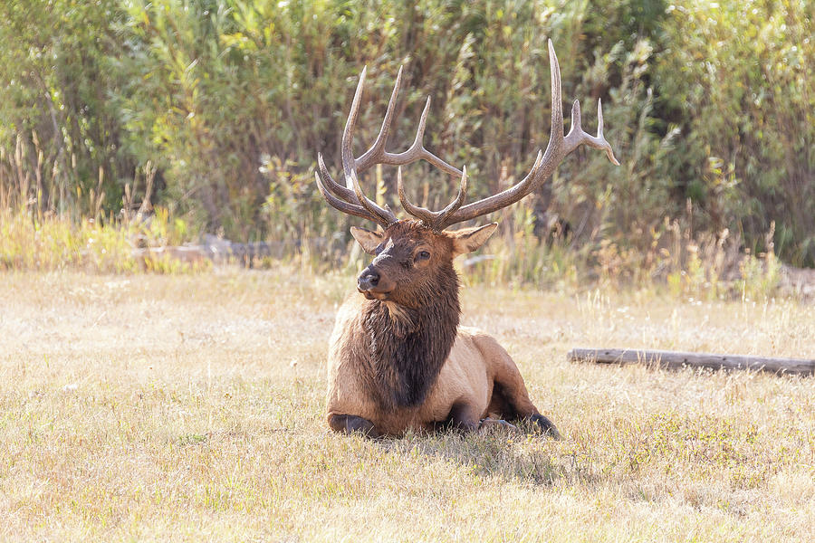 Elk Bull Takes A Break Photograph