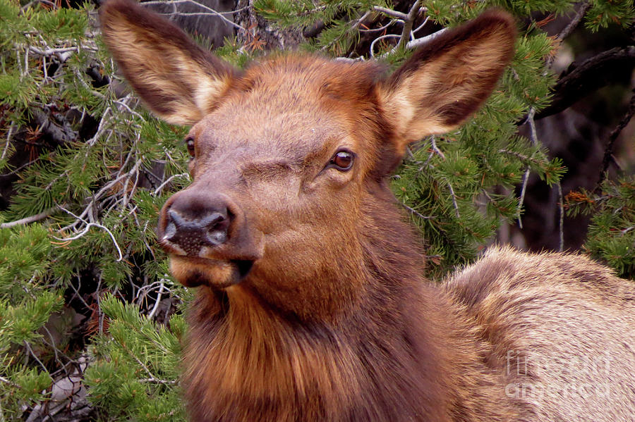 Elk Calf by Mary Mikawoz
