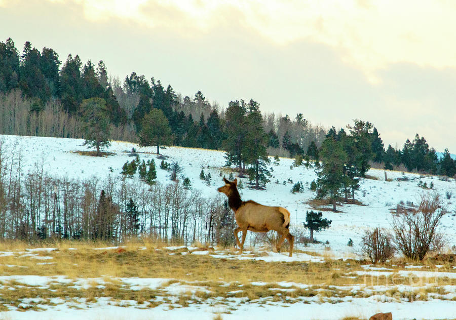 Elk Cow On A Winter Morning Photograph