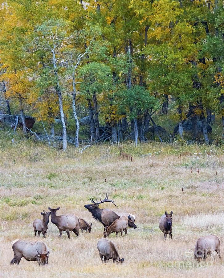 Elk Herd And Aspen Photograph