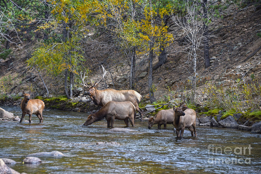 Elk Herd in The Big Thompson River by Catherine Sherman